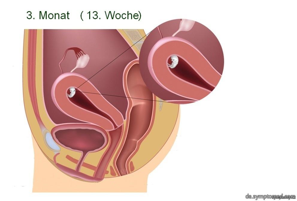 Die Leibesfrucht in der 13. Woche