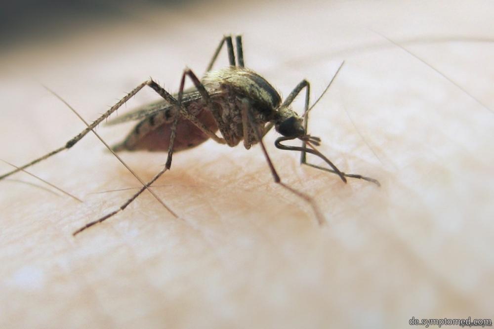 Gelbfiebermücke - Überträger des Gelbfiebers