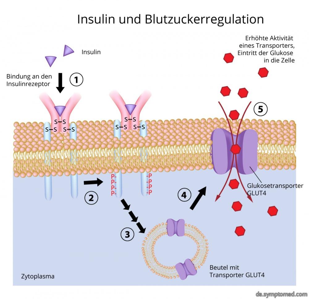 Insulin und Regulierung des Blutzuckers