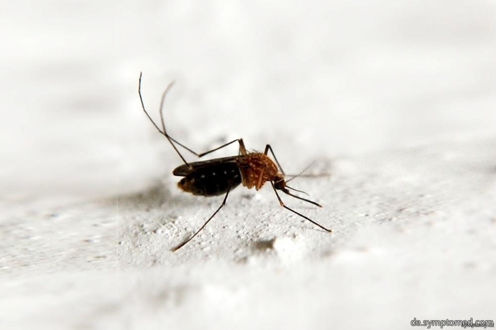 Malaria wird von Moskitos übertragen