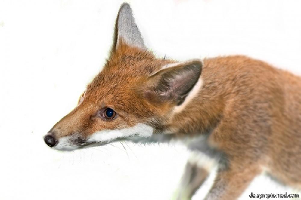 Fuchs - der bekannteste Tollwutsüberträger