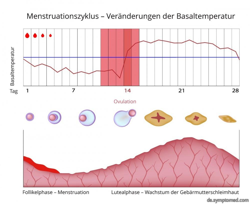 Menstruationszykus